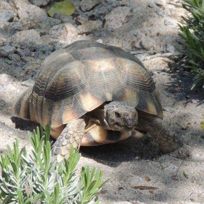 """""""Einwinterung von mediterranen Landschildkröten"""" - DGHT-Schildkrötenstammtisch am 26. September 2018, 19.30 Uhr"""