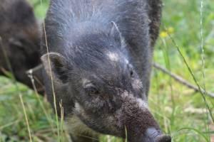 Visayas-Mähnenschwein