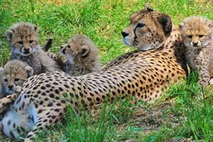 Sudangepard