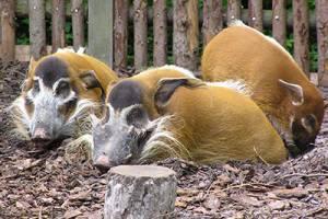 Pinselohrschweine und Watussirinder