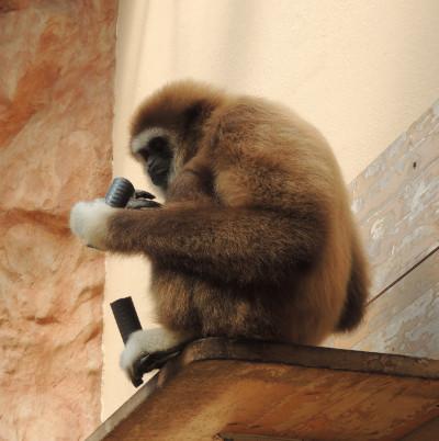 Spaß für die Affen im Zuge der Forschung