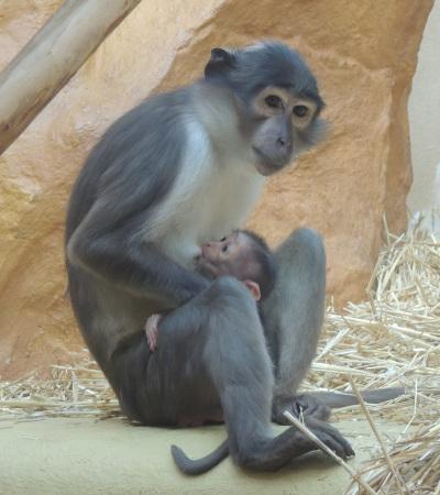 Sehr erfreulicher Zuchterfolg bei seltener und hochbedrohter Affenart