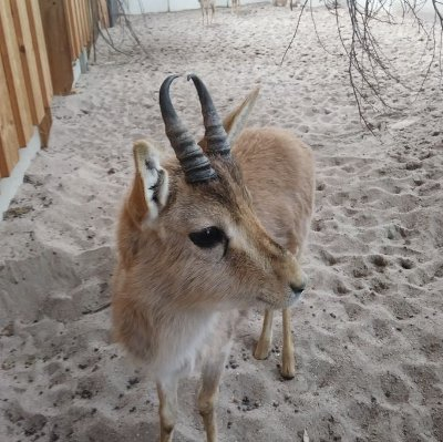 Neue Kropfgazellen-Junggesellengruppe im Zoo Landau