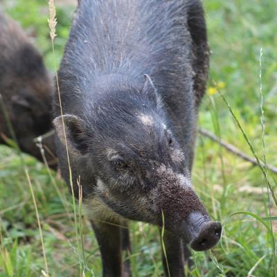 Neu im Zoo: Die stark bedrohten Visayas-Mähnenschweine